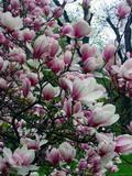 hausbautipps24 magnolie oder auch tulpenbaum genannt. Black Bedroom Furniture Sets. Home Design Ideas